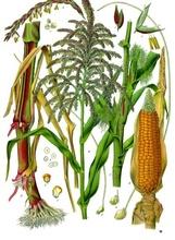 straight vegetable oil