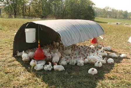 growing-chickens